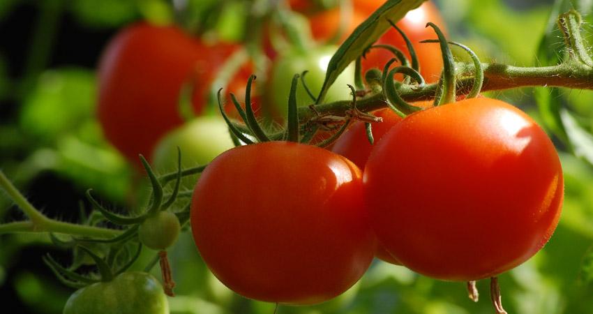 Uprawa Pomidorów Nasiona Sadzenie Nawożenie Choroby I